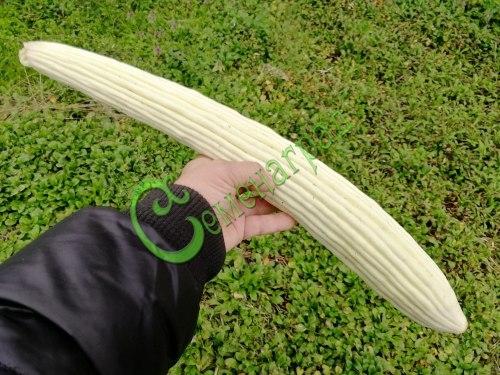 Семена огурдыни Огурыня «Северная Пальмира» - 1 уп.-4 семени - длиной до 50 см, применяется в пищу в молодом возрасте как огурец, хрустящий и очень ароматный. Семенаград - семена почтой