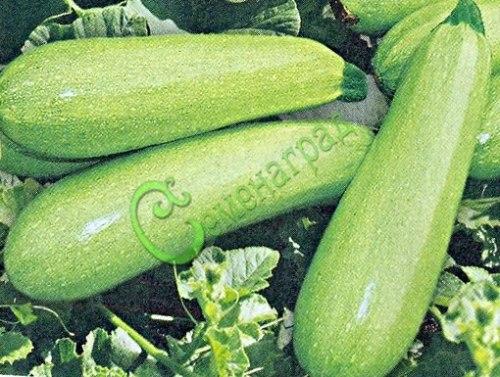 Семена Кабачок Грибовский - 5 семян - самый надёжный и распространённый сорт, очень урожайный
