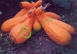 Семена крукнека Крукнек «Ранний», 1 уп.-4 семени - разновидность овощной тыквы, очень зрелищный, ранний и урожайный, повышенное содержание каротина, агротехника как у кабачка. Семенаград - семена почтой