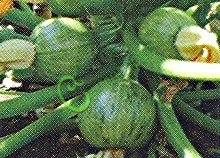 Семена цуккини Цуккини «Карам», 1 уп.-4 семени, выведен в США - круглый, вкусный. Семенаград - семена почтой
