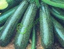 Семена цуккини Цуккини «Ролик» - 1 уп.-4 семени - урожайный, неприхотливый. Семенаград - семена почтой