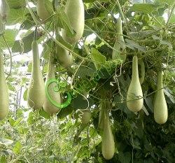 Семена лагенарии Лагенария-бутылка - 1 уп.-4 семени - лагенария в форме бутылки. Семенаград - семена почтой