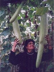 Семена почтой Лагенария-вьетнамский кабачок - 4 семени - плоды до 2 м длиной, в молодом возрасте применяют в пищу как кабачки