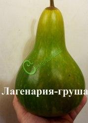 Семена лагенарии Лагенария-груша - 1 уп.-4 семени - лагенария в форме груши. Семенаград - семена почтой