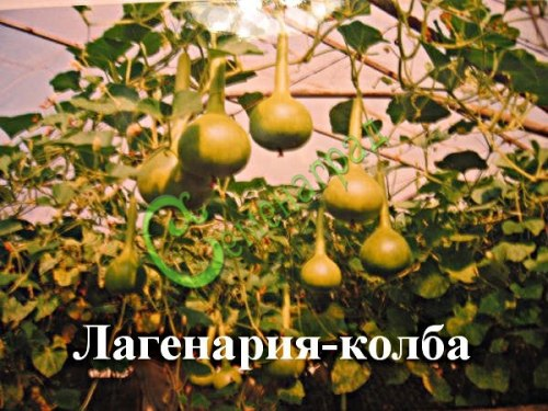 Семена почтой Лагенария-колба - 4 семени - лагенария в форме колбы