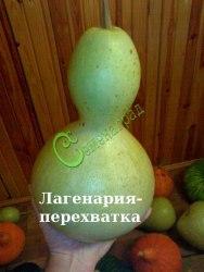 "Семена лагенарии Лагенария-перехватка - 1 уп.-4 семени - такая лагенария с ""талией"". Семенаград - семена почтой"