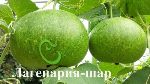 Семена почтой Лагенария-шар - 4 семени - очередная чудо-лагенария-шар