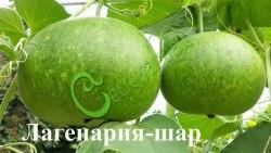 Семена лагенарии Лагенария-шар - 1 уп.-4 семени - очередная чудо-лагенария.ар Семенаград - семена почтой
