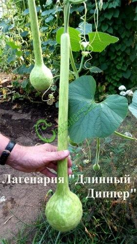 """Семена лагенарии """"Длинный Диппер"""" - 4 семени - колба с очень длинной шеей"""