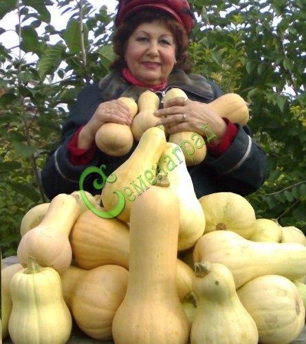 """Семена почтой Тыква """"Баттернат Вальтхам"""" - 4 семени, мускатная, ранняя, сладкая, порционная, до 1 кг, можно кушать без сахара и соли"""