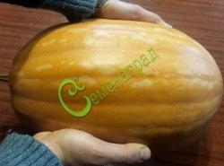 Семена тыквы Тыква «Витаминная» - 1 уп.-4 семени - относится к виду мускатных тыкв, сладкая, можно кушать как морковку, известный сорт. Семенаград - семена почтой