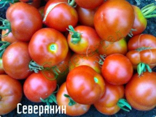 Семена томатов Северянин (20 семян - среднерослый, устойчивый, ранний, до 160 г)