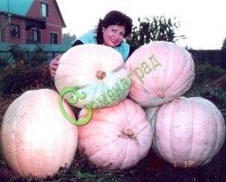 Семена тыквы Тыква «Гран-Гигант» - 1 уп.-4 семени, выведена в Германии - относится к виду крупноплодных тыкв, одна из самых больших тыкв в мире, с желто-оранжевой мякотью. Идеально подходит для кисло-сладкого варенья или для соревнований по выращиванию самых больших тыкв. Является обладателем записи самой крупнейшей тыквы в мире в книге рекордов Гиннеса. Семенаград - семена почтой