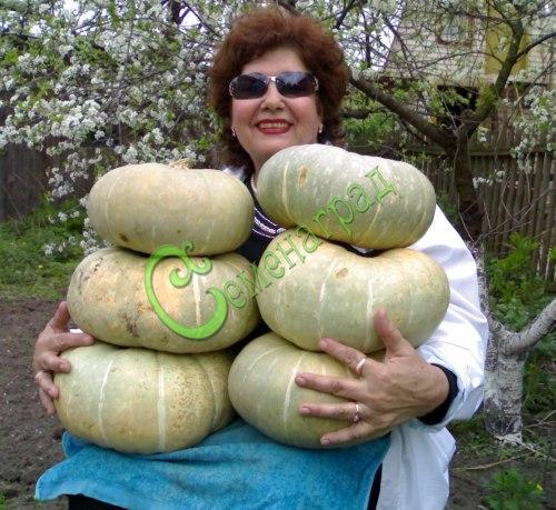 Семена тыквы Тыква «Испанская-73», 1 уп.-4 семени - относится к крупноплодным голубым тыквам, очень сладкая, с оранжевой мякотью, без терпкости, применяется в сыром виде, может храниться 2 года в комнате. Семенаград - семена почтой