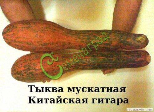 Семена тыквы «Китайская гитара» - 4 семени - относится к виду мускатных тыкв, длиной до 1 м, оранжевая, очень сладкая