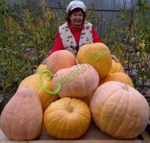 Семена тыквы Тыква «Титан», 1 уп.-4 семени - относится к виду крупноплодных тыкв, до 500 кг, если оставить 1 плод на растении, оранжевая, зрелищная, вкусная, неприхотливый сорт. Семенаград - семена почтой