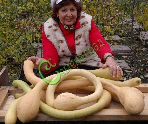 """Семена тыквы Тыква """"Труба д'Албенга"""" - 1 уп.-4 семени, выведена в Италии - относится к виду мускатных тыкв, до 1,5 м длиной, от 1 до 4 кг, со вкусом свежего ореха, можно кушать сырой, как морковку. Семенаград - семена почтой"""