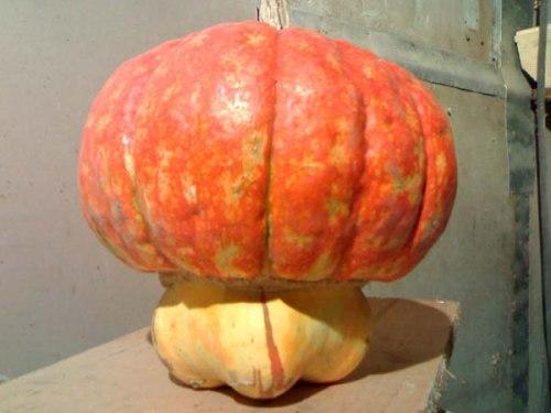 Семена тыквы Тыква «Чалмовидная» - 1 уп.-4 семени, выведена в США - относится к виду крупноплодных тыкв, оригинальная, очень сладкая, одна из самых вкусных, можно кушать в сыром виде, особенно вкусна шляпка. Семенаград - семена почтой