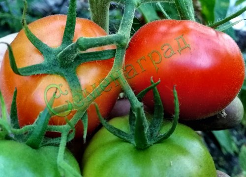 Семена томатов Суб-Арктик (20 семян - ранний, низкорослый, до 50 г)