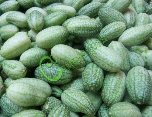Семена почтой Мелотрия шершавая (африканские огурчики) - 10 семян, лиана высотой 2-3 м, плоды с крупную оливку, применяют как огурцы