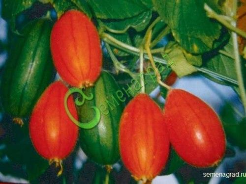 Семена почтой Тладианта сомнительная (красный огурец) - 20 семян, многолетнее вьющееся растение, плоды имеют привкус ананаса