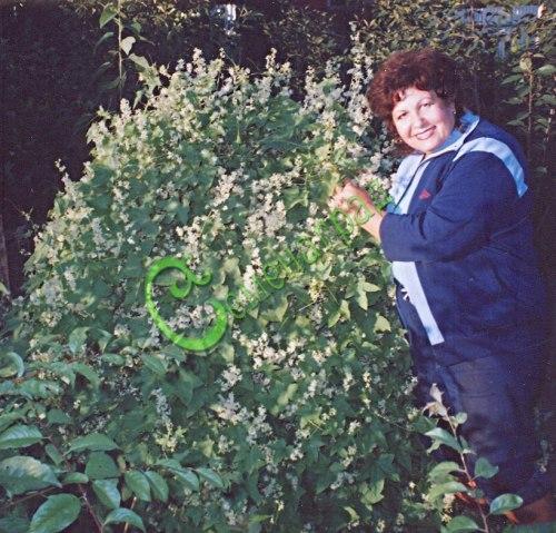 Семена эхиноцистиса Эхиноцистис лопастный - лиановидное растение, очень быстро наращивает густую сочную зелень, цветки обладают тонким медовым ароматом, молодые плоды вполне съедобны, однолетнее. Культивируется для создания зелёных шпалер, вертикального озеленения (оформления беседок, балконов, изгородей и пр.)Культивируется для создания зелёных шпалер, вертикального озеленения (оформления беседок, балконов, изгородей и пр.) Семенаград - семена почтой