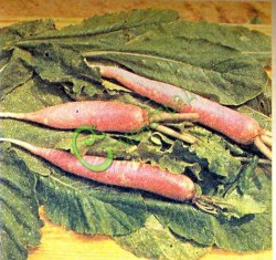 Семена дайкона Дайкон - японская редька-редис - перспективная и неприхотливая овощная культура. На вкус сладкая. Вес до 3,5 кг. Способен очищать печень и почки, в том числе, растворять камни. Смесь двух сортов - белого и розового. Наиболее урожаен дайкон при посеве в конце июня - начале июля. При весеннем посеве растение стрелкуется. Семенаград - семена почтой