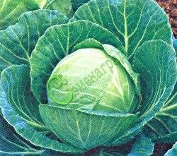 Семена капусты Капуста белокочанная «Копенгаген маркет» - 1 уп.-20 семян - средненеспелая, кочаны массой 5-7 кг, для квашения, хранения и потребления в свежем виде. Семенаград - семена почтой