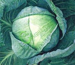 Семена капусты Капуста белокочанная «Тайниская» - 1 уп.-20 семян - средненеспелая, кочаны массой до 4,5 кг, для квашения, длительного хранения и потребления в свежем виде. Семенаград - семена почтой