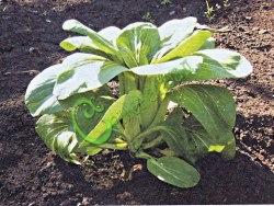 Семена салатной капусты Капуста китайская «Пак-Чой» - 1 уп.-20 семян - популярная листовая салатная капуста, очень ранняя. Семенаград - семена почтой