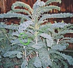 Семена салатной капусты Капуста салатная листовая «Язык жаворонка» - 1 уп.-20 семян - очень декоративна на столе и в росте. Семенаград - семена почтой