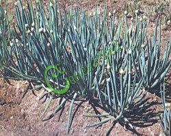 Семена лука Лук батун «Апрельский» - 1 уп.-30 семян - наиболее распространенный многолетний лук, в срезке на перо напоминает репчатый, в зоне умеренного климата хорошо переносит несколько срезок. Семенаград - семена почтой