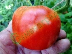 """Семена томатов Той Бой (""""Маленький мальчик""""), 1 уп.-20 семян - низкорослый, ранний, до 100 г, урожайный Семенаград - семена почтой"""