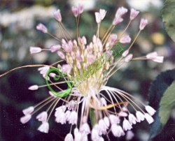 Семена лука Лук метельчатый - многолетний лук с декоративными соцветиями-висюльками. Семенаград - семена почтой