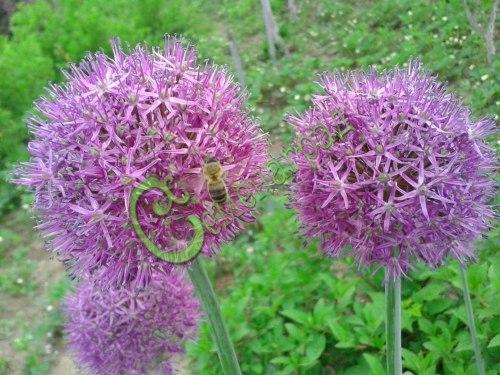 Семена Лук Суворова - 30 семян - многолетний, мощный, декоративный лук с крупными соцветиями