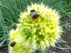 Семена лука Лук Уксун (Садовая черемша) - многолетний морозостойкий лук с чесночным привкусом, листья и луковицы по вкусу напоминают черемшу, симпатичные жёлтые шарики соцветий. Семенаград - семена почтой