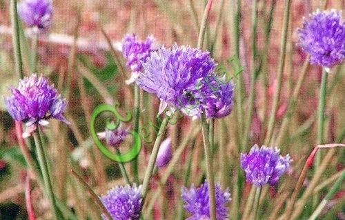 Семена лука Шнитт-лук «Московский», 1 уп.-30 семян - многолетний пищевой лук, очень красив фиолетовым цветением, используют также для оформления бордюров, дорожек и площадок. Очень морозоустойчив, нарастание листьев идет постоянно. Отличается ранней, нежной, неострой зеленью. Семенаград - семена почтой