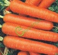 Семена моркови Морковь «Нантская-4» - высокоурожайный среднеспелый сорт (90-110 дней). Корнеплод цилиндрический, тупоконечный, с оранжевой внутренней и наружной окраской. Семенаград - семена почтой