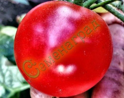Семена томатов Флорида (20 семян - очень компактный, очень ранний, до 50 г)