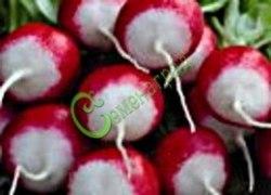 Семена редиса Редис «Розово-красный с белым кончиком» - скороспелый сорт (23-30 суток), корнеплод овальной формы, длиной 3,5–5,0 см, диаметром 2,5-4,0 см., розово-красного цвета с белым кончиком. Семенаград - семена почтой