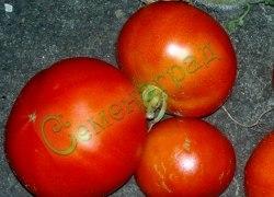 Семена томатов Флор Америка, 1 пор.-20 семян, - низкорослый, очень ранний, до 200 г. Семенаград - семена почтой