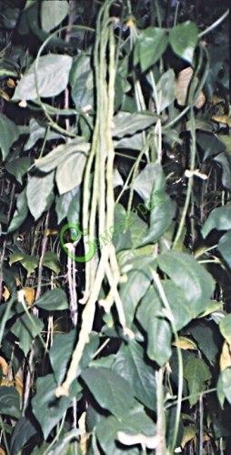 Семена Вигна японская - 3 семени, стручки достигают 1 м, одно растение даёт 3,5-4 кг зелёных лопаток, высота растения до 5 м