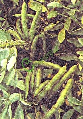 Семена бобов Русские черны, 1 уп.-3 семени - одна из древних культур, недозрелые семена содержат больше белка, чем зеленый горошек. Широко применяют в кулинарии западных стран. Неприхотливы, урожайны, улучшают структуру почвы. Хорошо растут в уплотнении с картофелем. Семенаград - семена почтой