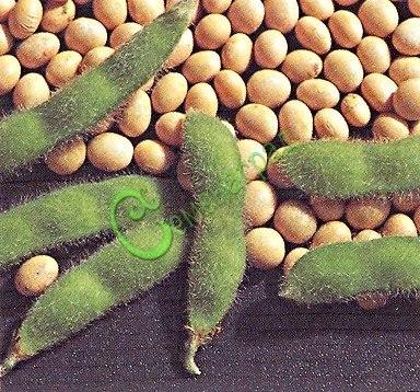 Семена Соя обыкновенная «Кубанская» - 10 семян - ранняя, урожайная, наприхотливая