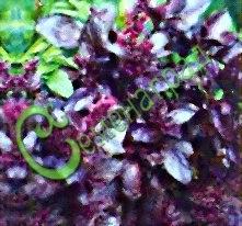 """Семена базилика Базилик обыкновенный """"Пурпурные звёзды"""", 1 уп.-20 семян - «Кто базилик жует, тот долго живет!» - говорит южная пословица. Это незаменимая приправа при качественном консервировании. Обладает огромным содержанием каротина, витамина С, фитонцидов. Семенаград - семена почтой"""