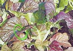 Семена горчицы Горчица «Сарептская», 1 уп.-30 семян - крупнолистовая, красивейшая, цветная, салатная горчица, новинка. Семенаград - семена почтой