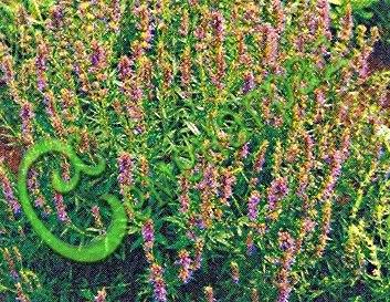 Семена иссопа Иссоп - 1 уп.-20 семян - холодостойкое, многолетнее, лекарственное, кулинарное, декоративное растение, ценнейший медонос (мед с иссопа самый ценный), приятное ароматическое растение. Приправа - лекарь! Лечит астму, ревматизм, бронхит. Семенаград - семена почтой