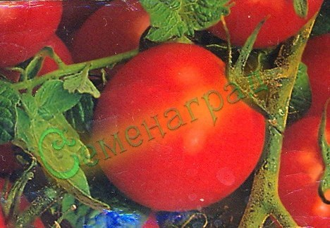 """Семена томатов Черри - 1 уп.-20 семян, выведен во Франции - в переводе """"вишня"""", высокорослый, усыпной, пользуется спросом. Семенаград - семена почтой"""