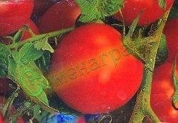"""Семена томатов Черри, 1 уп.-20 семян, выведен во Франции - в переводе """"вишня"""", высокорослый, усыпной, пользуется спросом. Семенаград - семена почтой"""