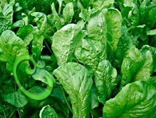 """Семена Кресс-салат """"Темп"""" - 30 семян, нежная молодая зелень приятного острого вкуса"""